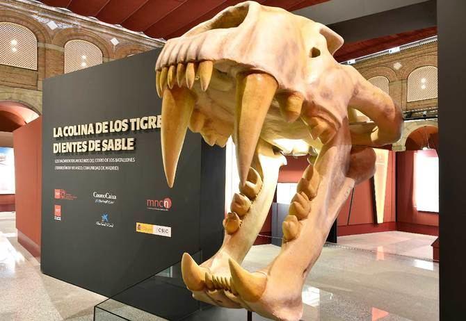 Casi 80.000 visitas a su exposición sobre la colina de los tigres dientes de sable del yacimiento del Cerro de los Batallones