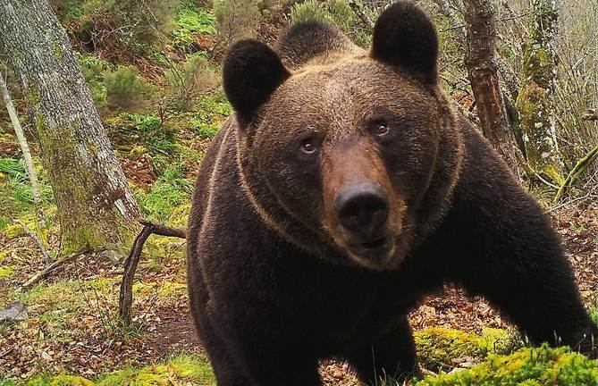 En la categoría 'Actuaciones en España', se reconoce al Fondo para la Protección de los Animales Salvajes (FAPAS) por su actividad sostenida y sobre el terreno durante más de tres décadas en favor de las especies y los ecosistemas cantábricos. Oso pardo (©) FAPAS.