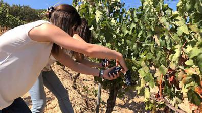 Pisado de uva y picnic, entre viñedos